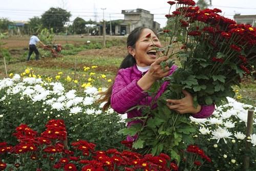 Một thương lái đang vào tận vườn để thu mua hoa cúc xinh bán dịp 8/3, giá mỗi cành mua tại vườn là 1.500 đồng.