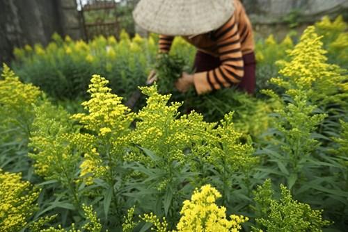 Tại một vườn trồng hoa vàng anh, đây là giống hoa có nguồn gốc nước ngoài đang được người dân trồng mở rộng khá nhiều. Khi thu hoạch người ta dùng liềm cắt như kiểu gặt lúa, giá bán mỗi cành hoa khoảng 1.500 đồng.