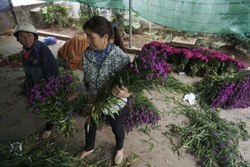 Bà Nguyễn Thị Hiền xóm Mĩ Tiến 1 vừa đi hái hoa thạch thảo về để kịp giao cho khách hàng bán trong dịp 8/3.