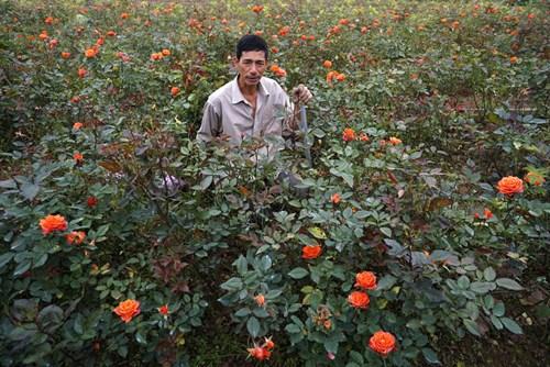 Anh Đào Xuân Bảo bên những cây hồng tỷ muội chuẩn bị mang bán với giá 15 nghìn/1 cây. Nhà anh có 7 sào đất phần lớn là trồng hoa hồng, nhưng nguồn thu lớn lại đổ về từ 60 gốc bưởi cảnh, trung bình 1 cây có giá 7 triệu đồng.