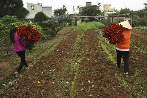 Các gia đình trồng hoa sẽ mang ra chợ hoa đêm bán, hoặc thương lái vào tận vườn mua. Trong đợt chuẩn bị hoa cho 8 - 3, người trồng liên tục bận rộn với việc thu hoạch và vận chuyển hoa về thành phố.