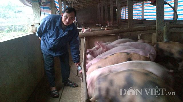 Anh Trần Đắc Đằng đang chăm sóc đàn lợn thịt trong chuồng.