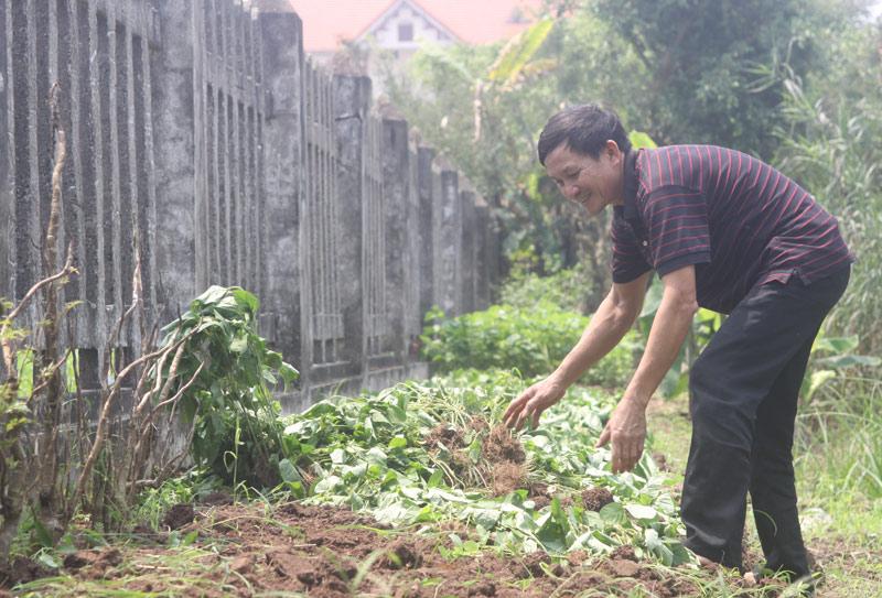 Ông Phạm Văn Cường nhổ bỏ vườn đậu tương.