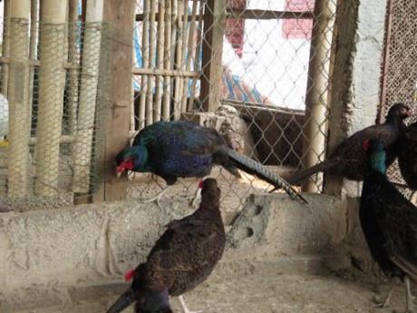 Chim trĩ xanh hiện đang có giá bán thịt trên thị trường khoảng 550.000-900.000 đồng/con tùy loại trống mái