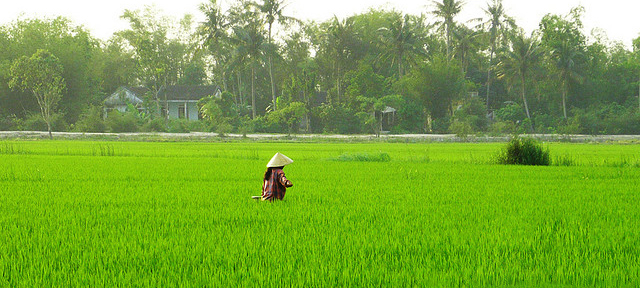 Cây lúa trồng tại Hải Hậu
