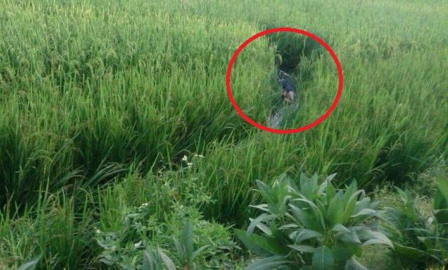 Xác nam thanh niên được phát hiện bên ruộng lúa