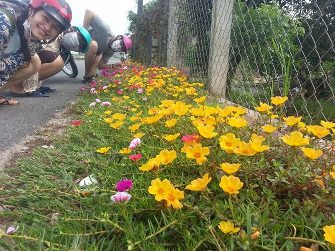 Ngất ngây với con đường hoa mười giờ ở Nam Định