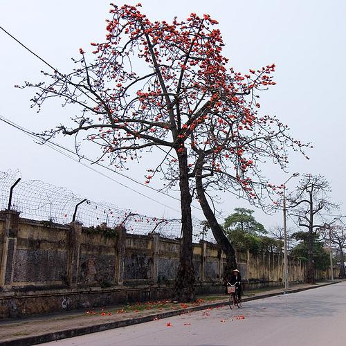 Hoa gạo trên phố Tô Hiệu, ngang qua nhà máy Dệt cũ