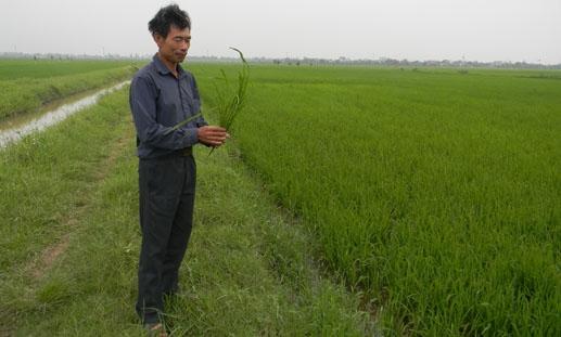 Xuân Trường: Triệu phú từ cây lúa