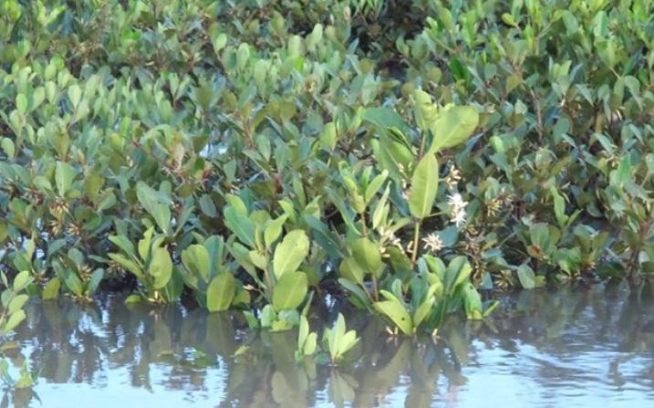 Hoa xú vẹt sống nửa nước nửa cạn