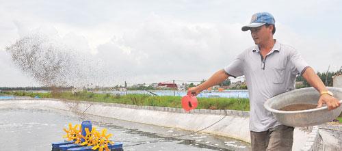 Ông Cao Văn Trúng đang đổ cám cho tôm thẻ ăn trong ao nuôi của gia đình ở xã Hải Nam, huyện Hải Hậu, Nam Định. Ảnh: Hải Đăng