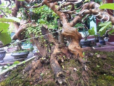 Ổi ta là loài cây thân giòn và cứng, rất khó để có thể uốn, chỉnh tạo thế thành cây cảnh. Nó khác với giống ổi Tàu - loại cây lá nhỏ và đều, thường được tạo dáng thành cây bon-sai nghệ thuật.