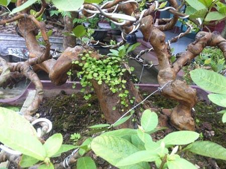 Chính vì lẽ đó, trong làng cây cảnh, những cây ổi ta (ổi thóc, quả nhỏ, ruột khi chín có màu đỏ hoặc vàng, mùi rất thơm), số lượng không nhiều. Những cây ổi hoàn thiện thành tác phẩm mỹ thuật, số lượng chỉ đếm được trên đầu ngón tay.