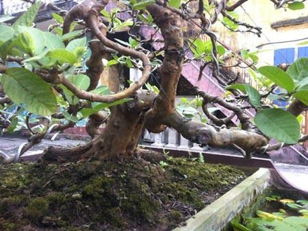 Cây ổi cảnh của ông Đông có tuổi gần 30 năm tuổi, được xếp vào một trong những cây cảnh nghệ thuật đẹp của làng chơi cây Nam Định.