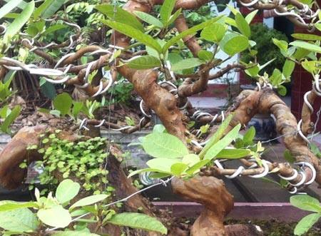 Cây ổi thơm hàng chục năm tuổi.