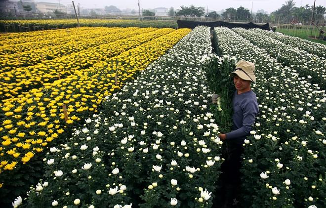 Những cánh đồng hoa rực rỡ của thôn Phù Long xã Nam Phong huyện Nam Trực là vựa hoa cung cấp chính cho thành phố Nam Định và các vùng lân cận.