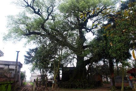 Cây dã hương cổ thụ có tên trong Sách đỏ thế giới ở thôn Dương Phạm.