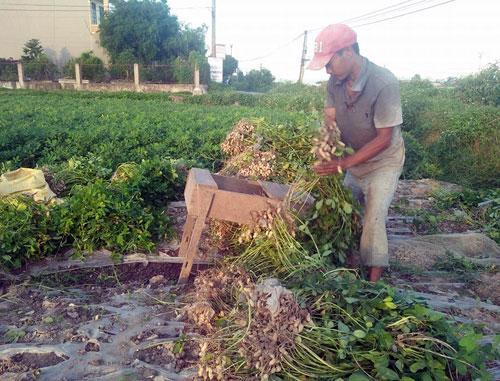 Lạc là cây trồng mới cho thu nhập gấp 2 – 3 lần lúa, đang giúp người dân huyện Ý Yên (Nam Định) cải thiện đời sống. Ảnh: V.T