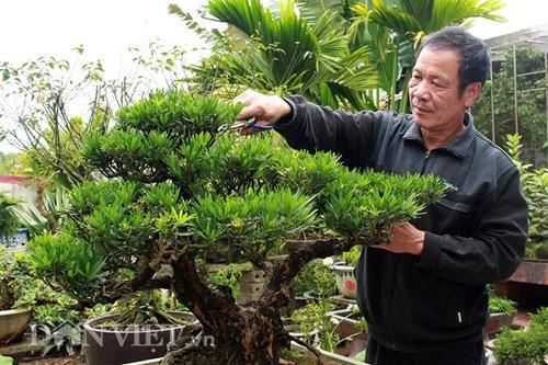 Với những dịp đầu xuân, cây tùng la hán của ông Hoa luôn được khách chuộng mua.