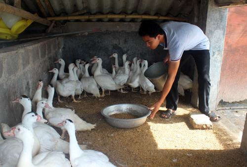 Mô hình nuôi ngan giá trị kinh tế cao theo hướng an toàn sinh học của gia đình anh Đoàn Văn Thuần ở xóm 7, xã Giao Hải (Giao Thủy, Nam Định).