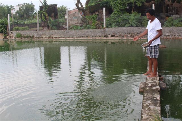 Hiện 3 ao nhà anh Dũng đều nuôi cá Koi lai
