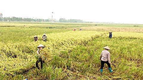 Nông dân xã Nam Cường (Nam Trực) huy động lực lượng gặt lúa mùa chạy bão.
