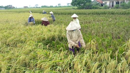 Tình trạng ruộng đất manh mún đã và đang khiến nông dân ở nhiều nơi không thể đoạn tuyệt với phương thức sản xuất nhỏ lẻ.