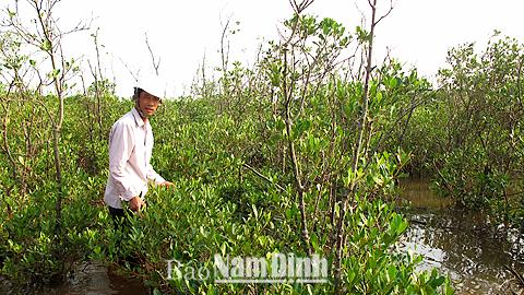 Ông Nguyễn Văn Bổng, xóm 18, xã Giao An chăm sóc cây sú, vẹt tại Vườn quốc gia Xuân Thủy.