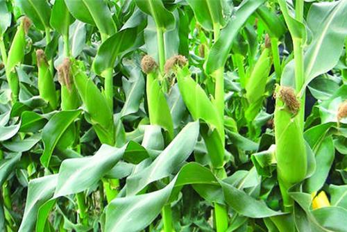 Tham quan nhà máy sản xuất ngô sấy hiện đại tại Nam Định