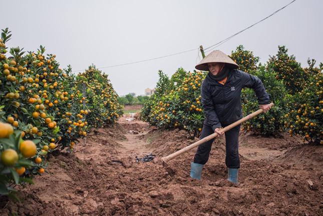 Ngay khi một cây quất được đánh đi cũng là lúc những người nông dân bắt tay vào chăm sóc những cây mới. Một cây quất từ lúc non cho đến khi trưởng thành phải mất ít nhất từ 3 đến 4 năm.
