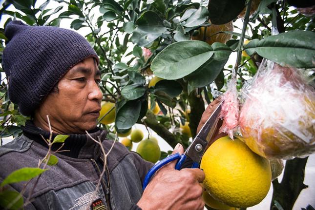 Những năm gần đây, ngoài chơi quất và đào, người dân còn chuộng chơi bưởi cảnh. Những làng nghề ở Nam Định cũng theo xu thế mới, nhập những gốc bưởi từ Văn Giang (Hưng Yên) về để bán cho khách. Giá một cây rẻ nhất từ 5-7 triệu một cây.