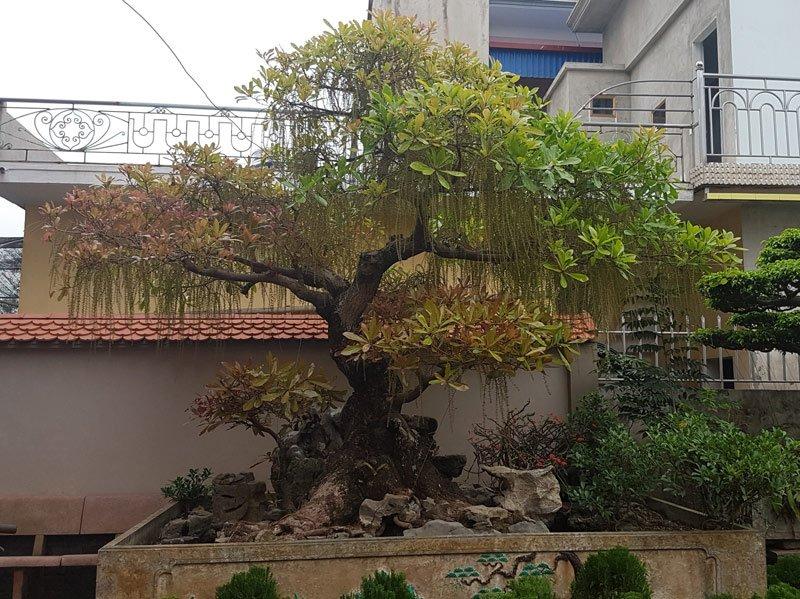 """Cây lộc vừng trồng trên chậu được ký đá và thả nước bất ngờ trổ hoa đúng dịp Tết khiến chủ nhà """"được"""" nổi tiếng."""