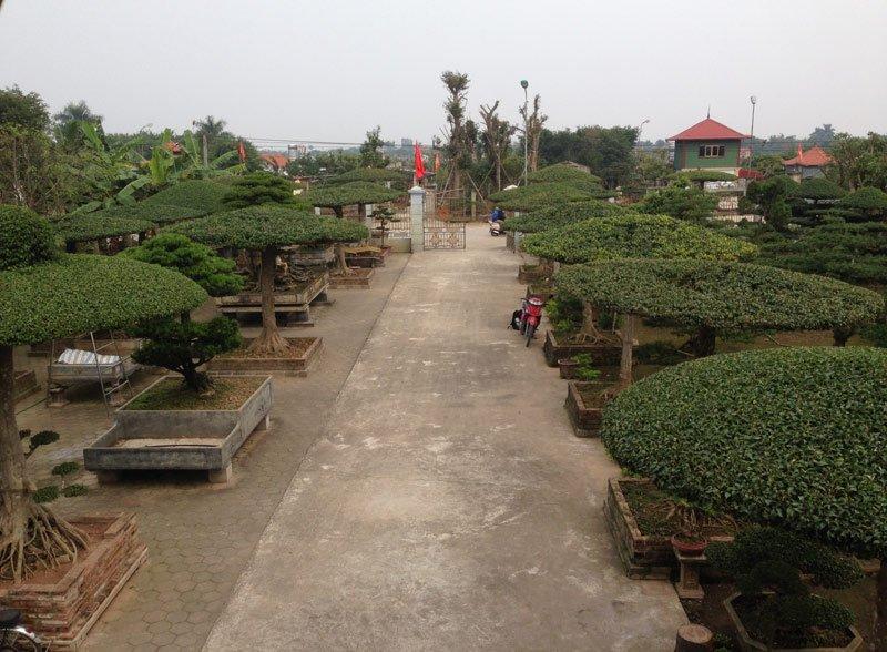 Hàng cây dáng lọng chạy dọc khuôn viên của gia đình anh Nguyễn Xuân Đức