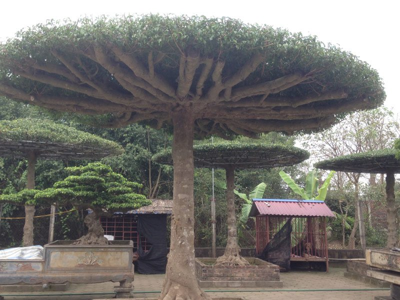 Sự độc đáo của những cây thế này đang được nhiều người tìm đến.