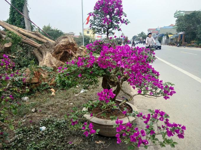 Một cây hoa giấy mảnh mai được bày bán bên đường.