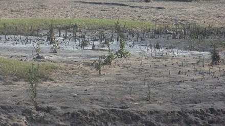Rừng mới trồng chắn sóng ven biển Nam Cồn Xanh chỉ còn thưa thớt vài cây.