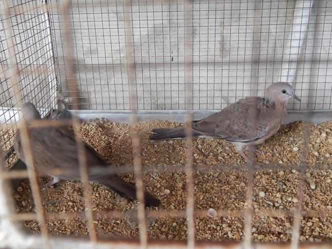 Những chú chim được khách đặt mua sẽ được nuôi nhốt riêng