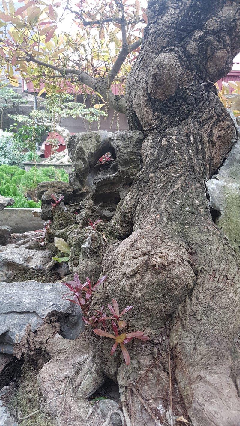 Bộ rễ khỏe mạnh luồn lách trong các thớ đá để lấy dưỡng chất nuôi cây.