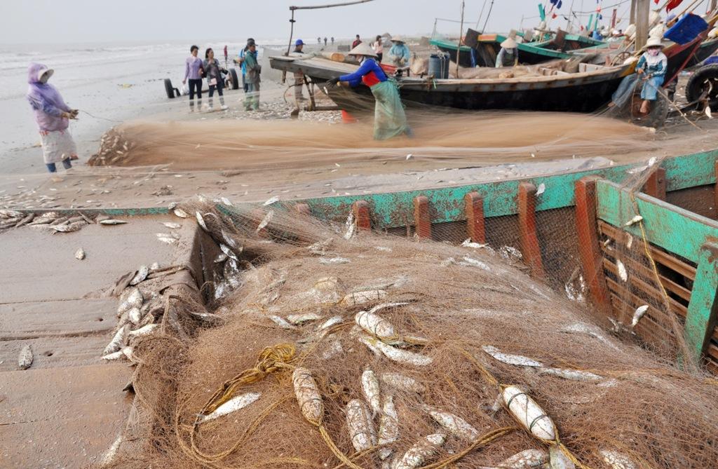Đặc biệt, đối với những thuyền đánh cá trích. Chỉ sau hơn 3 tiếng ra khơi, 18 treo lưới của gia đình ông Nguyễn Văn Nam (45 tuổi, ở Hải Lý) đã mắc kín cá trích