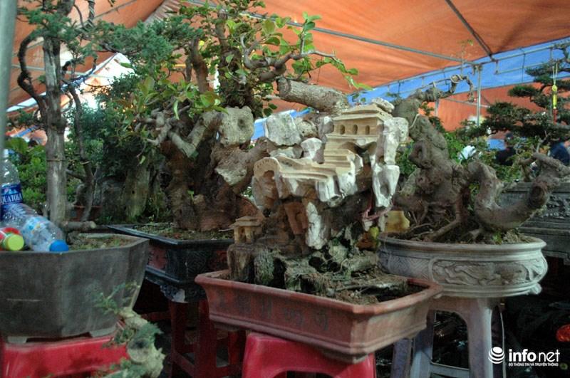 Còn đây là kiểu cây mọc trong thân đá cũng được bán với giá hơn 8 triệu đồng.