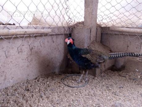 Chim trĩ xanh có giá trị kinh tế cao (Ảnh: TD)