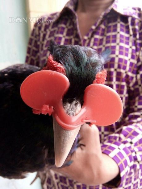 Cận cảnh chim trĩ xanh đeo kính ngộ nghĩnh và ấn tượng tại trại chim trĩ của gia đình bà Lành (Ảnh: TD).