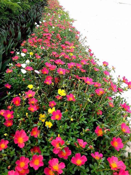 Những con đường hoa mười giờ rực rỡ sắc màu được người dân chăm sóc mỗi ngày...