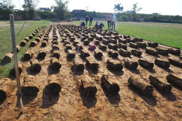 Nghề trồng cỏ Nhật ở Điền Xá