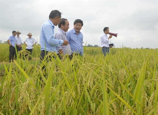 Hình thành những 'làng nghề' sản xuất giống lúa lai