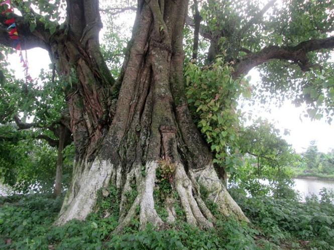 Năm người lớn cầm tay nhau mới ôm trọn được thân cây