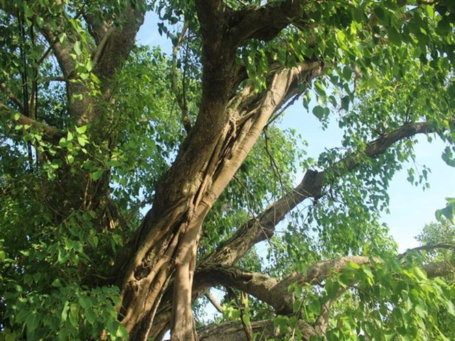 Khi những cành cây lâu năm có dấu hiệu bị mục bên trong thì những cành non lại phát triển ôm chặt bên ngoài