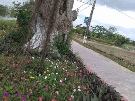 Hoa mười giờ mơn mởn khoe sắc bên gốc cây cổ thụ già