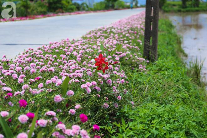 Đẹp ngỡ ngàng những con đường làng rực rỡ màu hoa
