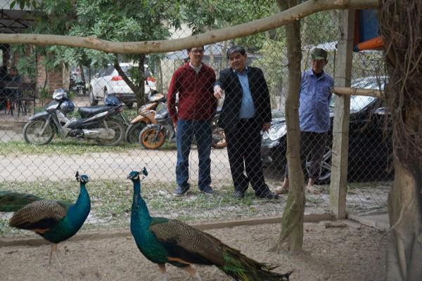 Đại gia Nam Định và các tỉnh thành chi chục triệu săn chim công quý chơi Tết
